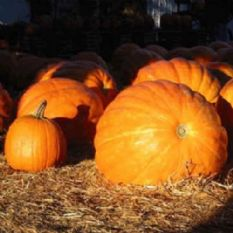Pumpkin Rouge Vif D'estampes - Cinderella Pumpkin - 200 seeds - Bulk Discounts available